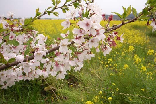 080413桜と菜の花.jpg